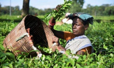 Darjeeling tea planters claim tea imported from Nepal is not FSSAI-compliant