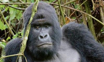 Recycling smartphones may help keep gorilla habitats intact